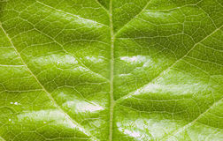 Texture of green leaf Royalty Free Stock Image