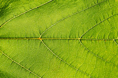 Texture green leaf. Royalty Free Stock Images