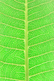 Texture of a green leaf. As background royalty free stock images