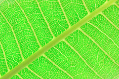 Texture of a green leaf. As background Royalty Free Stock Image