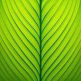 Texture of a green leaf Stock Photos