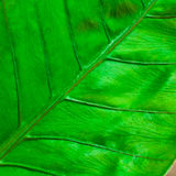 TEXTURE OF A GREEN LEAF Royalty Free Stock Photography
