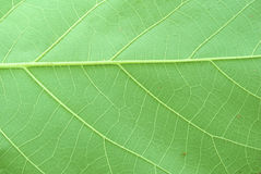 Texture of a green leaf Stock Photography