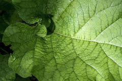 Texture of a green leaf as abstract background macro plant pattern Royalty Free Stock Photography