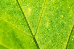 Green leaf as background. Texture of a green leaf as background Royalty Free Stock Images