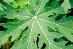 Green leaf as background. Texture of a green leaf as background Stock Images