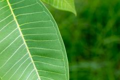 Texture of a green leaf as background.  Stock Photography