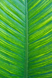 Texture of a green leaf Royalty Free Stock Image