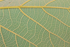 Texture of a green leaf as background Royalty Free Stock Photography