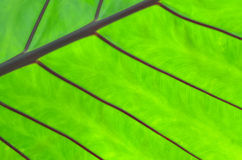 Texture of a green leaf as background Royalty Free Stock Image
