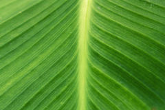 Texture of a green leaf as background. A texture of a green leaf as background Royalty Free Stock Photo