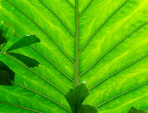 Texture of a green leaf as background.  Royalty Free Stock Photo