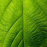 Texture of a green leaf as background.  Stock Photos