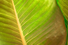 Texture of a green leaf as background. Royalty Free Stock Image
