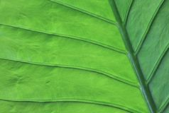 Texture of a green leaf as background. Botanically detail Stock Photography