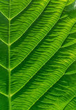 Texture of a green leaf as background. Stock Images