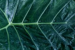 Texture of a green leaf as background. Green leaves plant growin. G in wild, the tropical forest plant, blank / empty space for creative design i.e. banner Stock Photography