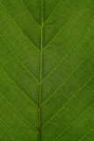 Texture of a green leaf as background Royalty Free Stock Photos