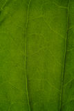Texture of a green leaf as background Stock Image