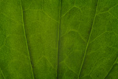Texture of a green leaf as background Stock Images