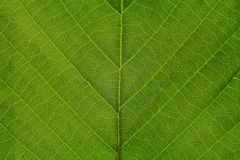 Texture of a green leaf as background Stock Photography