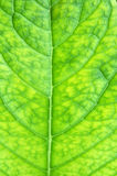 Texture of a green leaf as background Royalty Free Stock Images
