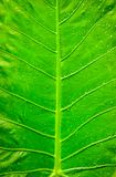 Texture of a green leaf as background. Nature concept Royalty Free Stock Photography