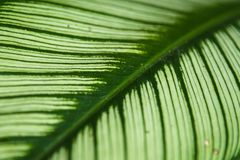 Texture of a green leaf as background. Texture of a green leaf as background Royalty Free Stock Photo