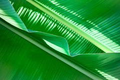 Texture of green leaf Stock Images