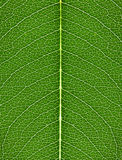 The texture of green leaf with bright veins Royalty Free Stock Images