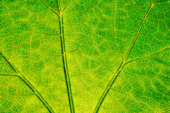 Texture of green leaf. Royalty Free Stock Image