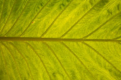 Texture green leaf closeup Royalty Free Stock Photography