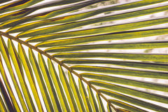 Texture of green leaf coconut tree for background Royalty Free Stock Photo