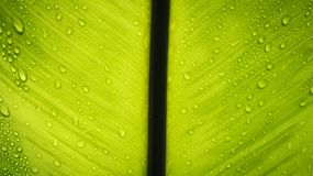 Texture of a green leaf with drops of water. Royalty Free Stock Image