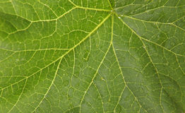Texture of the green leaf fig (Ficus carica L.) Royalty Free Stock Image
