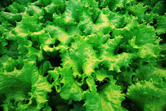 Texture of green leaf lettuce Stock Image