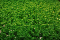 Texture of green leaf lettuce Stock Images
