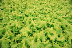 Texture of green leaf lettuce Stock Photo