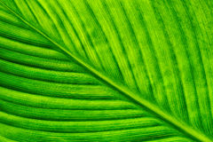 Texture of green leaf from the tree. Closeup Stock Images
