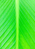 Texture of a green leaf. Royalty Free Stock Image