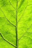 Texture of green leaf with veins stock image