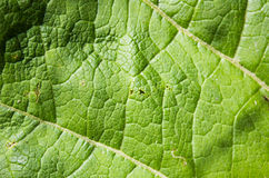 Texture of green leaf with veins Royalty Free Stock Image
