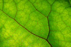 Texture of green leaf and veins. Close up view of green leaf and veins Stock Photos
