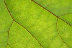 Texture of green leaf and veins. Close up view of green leaf and veins Royalty Free Stock Image