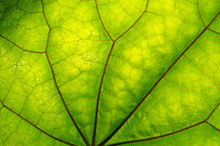 Texture of green leaf and veins. Close up view of green leaf and veins Royalty Free Stock Photo