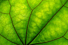 Texture of green leaf and veins. Close up view of green leaf and veins Stock Images