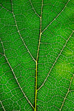 Texture of green leaf and veins. Close up view of green leaf and veins Stock Image