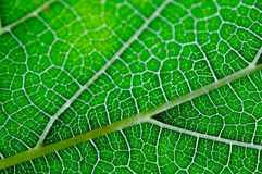 Texture of green leaf and veins. Close up view of green leaf and veins Stock Photography
