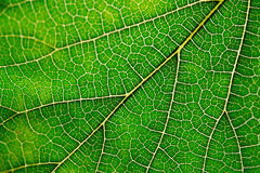 Texture of green leaf and veins. Close up view of green leaf and veins Royalty Free Stock Images