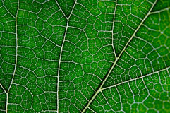 Texture of green leaf and veins. Close up view of green leaf and veins Royalty Free Stock Photos